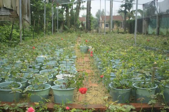 Mê mẩn hoa hồng rộ nở ở làng hoa Nghĩa Hiệp ảnh 11