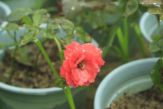 Mê mẩn hoa hồng rộ nở ở làng hoa Nghĩa Hiệp ảnh 12