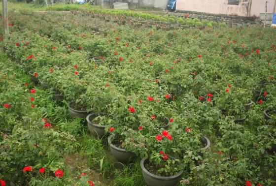 Mê mẩn hoa hồng rộ nở ở làng hoa Nghĩa Hiệp ảnh 10