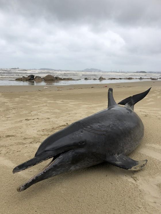 Phát hiện cá heo nặng 60kg trôi dạt vào bờ biển Quảng Ngãi ảnh 2