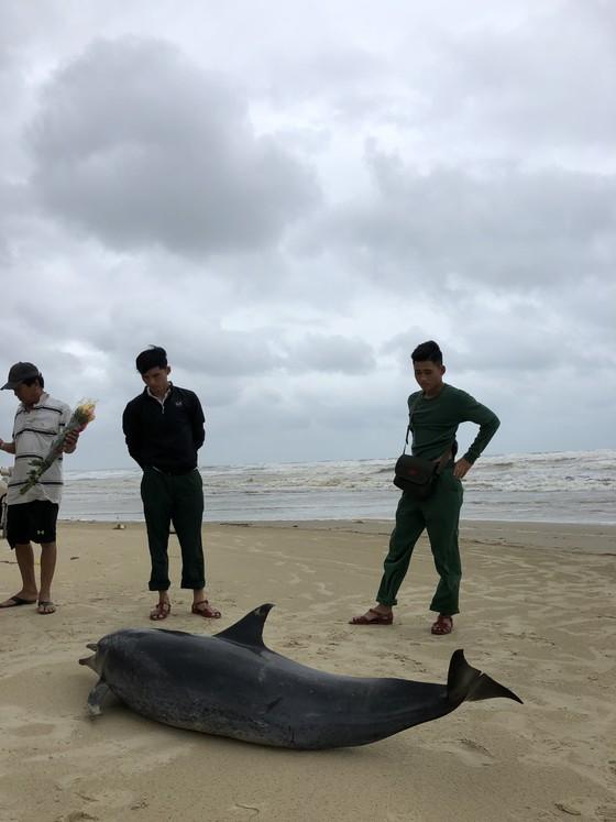 Phát hiện cá heo nặng 60kg trôi dạt vào bờ biển Quảng Ngãi ảnh 3