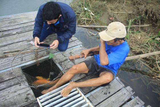 Độc đáo nuôi cá Koi Nhật trong lồng bè trên sông Trà Khúc ảnh 1