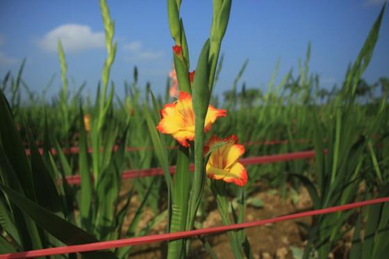 Hoa nở sớm, người dân Quảng Ngãi ngậm ngùi bán lỗ ảnh 8
