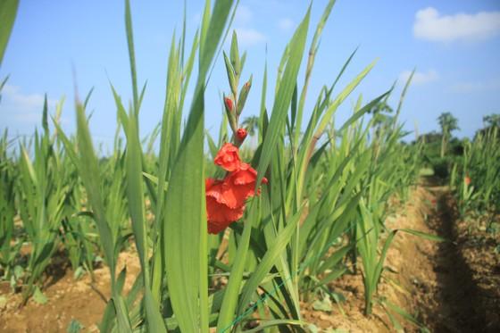 Hoa nở sớm, người dân Quảng Ngãi ngậm ngùi bán lỗ ảnh 6
