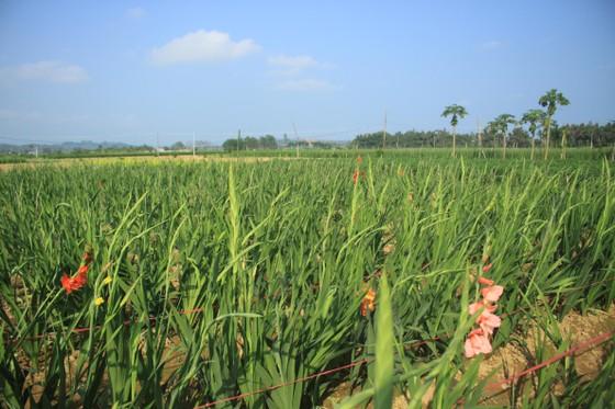 Hoa nở sớm, người dân Quảng Ngãi ngậm ngùi bán lỗ ảnh 1
