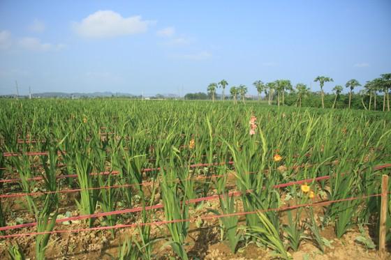 Hoa nở sớm, người dân Quảng Ngãi ngậm ngùi bán lỗ ảnh 3