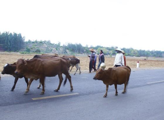 Hàng chục con bê, bò bị chết do bệnh lở mồm long móng ở Quảng Ngãi ảnh 1