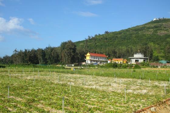Mùa thu hoạch tỏi trên đảo Lý Sơn ảnh 3