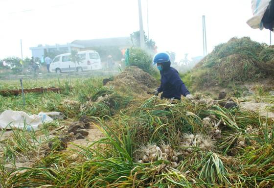 Mùa thu hoạch tỏi trên đảo Lý Sơn ảnh 4