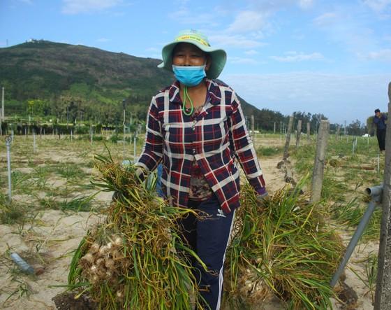 Mùa thu hoạch tỏi trên đảo Lý Sơn ảnh 1