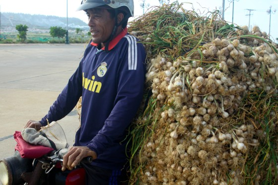 Mùa thu hoạch tỏi trên đảo Lý Sơn ảnh 11