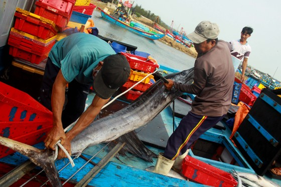 Trúng cá 'khủng' nhưng giá rẻ bèo, ngư dân Quảng Ngãi chịu lỗ  ảnh 7