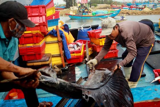 Trúng cá 'khủng' nhưng giá rẻ bèo, ngư dân Quảng Ngãi chịu lỗ  ảnh 1