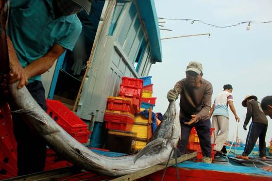 Trúng cá 'khủng' nhưng giá rẻ bèo, ngư dân Quảng Ngãi chịu lỗ  ảnh 4