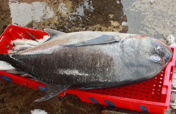 Trúng cá 'khủng' nhưng giá rẻ bèo, ngư dân Quảng Ngãi chịu lỗ  ảnh 9