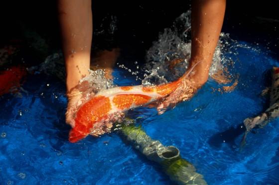Thanh niên trẻ khởi nghiệp từ cá Koi ảnh 8