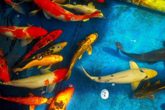 Thanh niên trẻ khởi nghiệp từ cá Koi ảnh 9