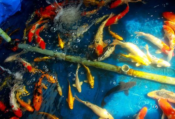 Thanh niên trẻ khởi nghiệp từ cá Koi ảnh 2