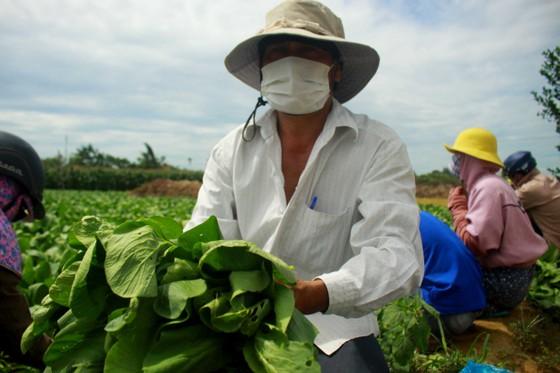 Nông dân hái rau hỗ trợ các khu cách ly ở Quảng Ngãi  ảnh 9