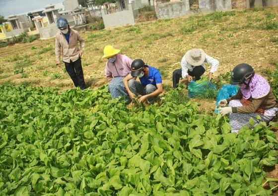 Nông dân hái rau hỗ trợ các khu cách ly ở Quảng Ngãi  ảnh 7