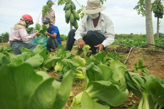 Nông dân hái rau hỗ trợ các khu cách ly ở Quảng Ngãi  ảnh 6