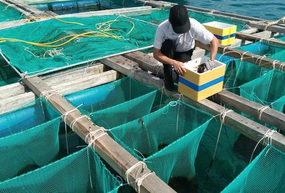 Nuôi thử nghiệm nhum sọ biển tại đảo Lý Sơn ảnh 1
