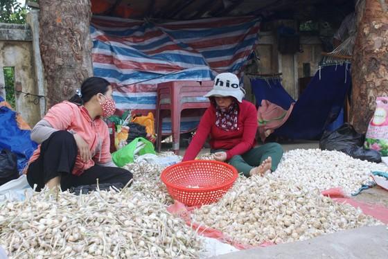 Khoảng 700 tấn tỏi khô chưa tiêu thụ ở đảo Lý Sơn ảnh 1