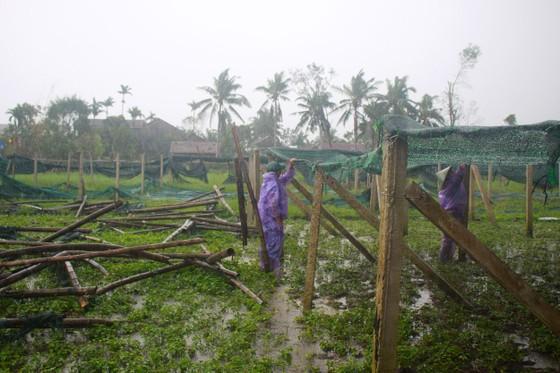Quảng Ngãi: Nông dân đội mưa khôi phục vườn rau sau bão ảnh 1