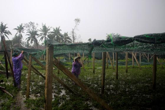 Quảng Ngãi: Nông dân đội mưa khôi phục vườn rau sau bão ảnh 5