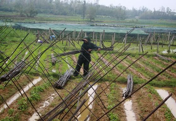 Quảng Ngãi: Nông dân đội mưa khôi phục vườn rau sau bão ảnh 8