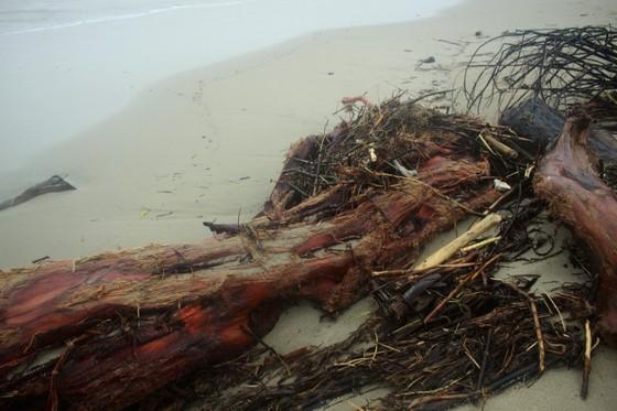 Củi khô bủa vây hơn 10km bờ biển Mỹ Khê, Quảng Ngãi ảnh 7