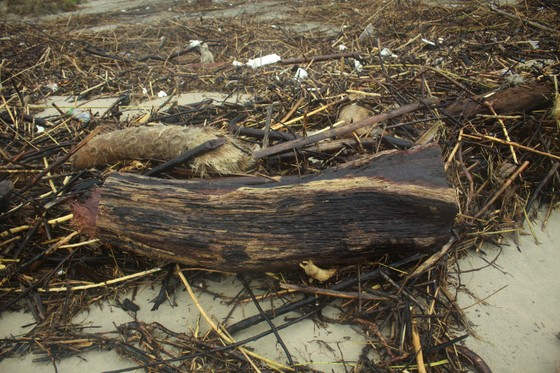 Củi khô bủa vây hơn 10km bờ biển Mỹ Khê, Quảng Ngãi ảnh 6