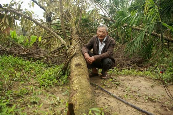 Quảng Ngãi: Nhiều nhà vườn trồng cây ăn trái bị thiệt hại nặng sau mưa bão ảnh 6