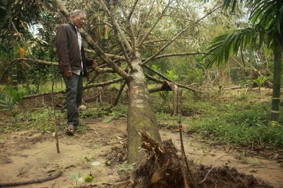 Quảng Ngãi: Nhiều nhà vườn trồng cây ăn trái bị thiệt hại nặng sau mưa bão ảnh 1