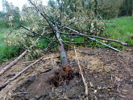 Quảng Ngãi: Nhiều nhà vườn trồng cây ăn trái bị thiệt hại nặng sau mưa bão ảnh 3