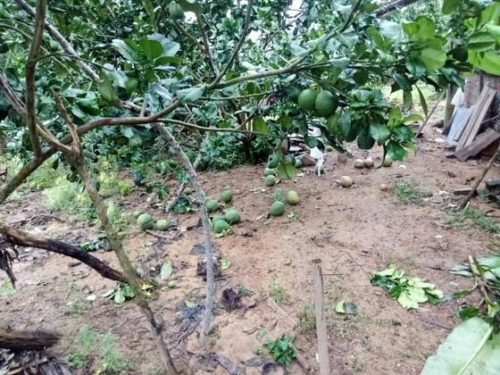 Quảng Ngãi: Nhiều nhà vườn trồng cây ăn trái bị thiệt hại nặng sau mưa bão ảnh 2