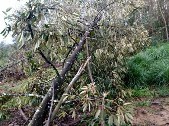 Quảng Ngãi: Nhiều nhà vườn trồng cây ăn trái bị thiệt hại nặng sau mưa bão ảnh 5