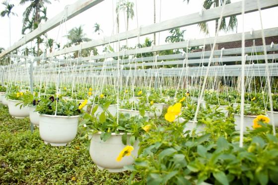 Quảng Ngãi: Rực rỡ 5.000 chậu hoa ngoại nhập của lão nông  ảnh 13