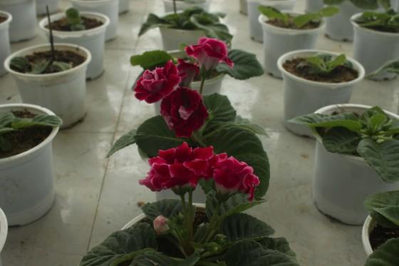 Quảng Ngãi: Rực rỡ 5.000 chậu hoa ngoại nhập của lão nông  ảnh 17
