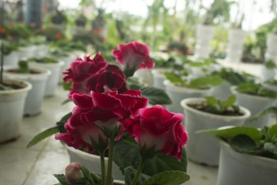 Quảng Ngãi: Rực rỡ 5.000 chậu hoa ngoại nhập của lão nông  ảnh 18