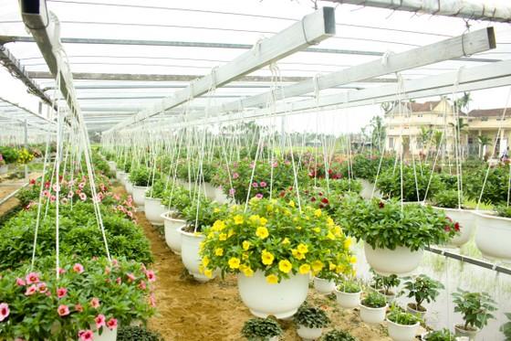 Quảng Ngãi: Rực rỡ 5.000 chậu hoa ngoại nhập của lão nông  ảnh 4