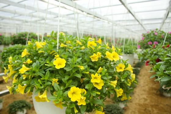 Quảng Ngãi: Rực rỡ 5.000 chậu hoa ngoại nhập của lão nông  ảnh 5