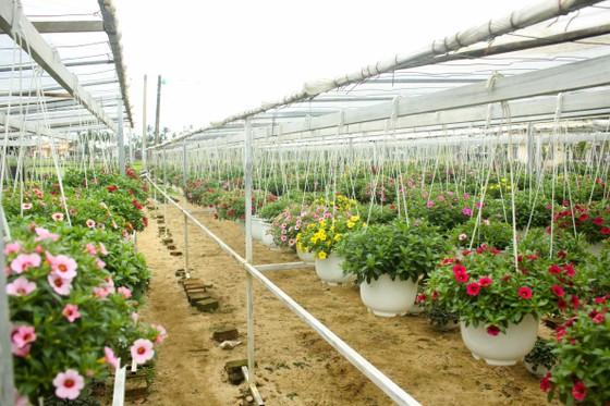 Quảng Ngãi: Rực rỡ 5.000 chậu hoa ngoại nhập của lão nông  ảnh 3