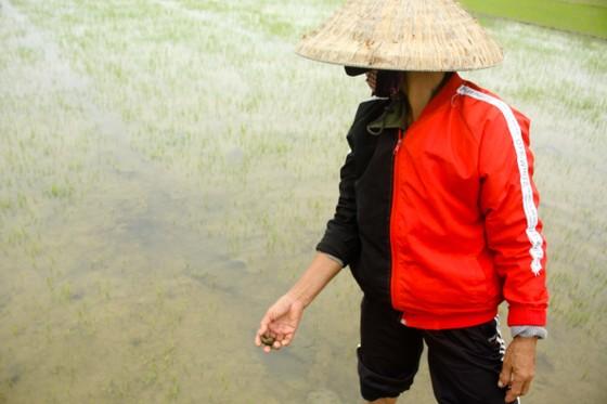 499 ha lúa đông xuân ở Quảng Ngãi bị ốc bươu vàng phá hoại ảnh 3