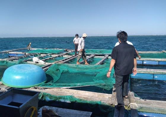 Thành công nuôi nhum sọ bảo vệ nguồn lợi thủy sản biển đảo Lý Sơn ảnh 1