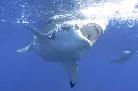 70% cá mập và cá đuối biến mất ảnh 1