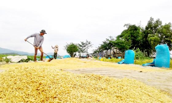 Giảm diện tích trồng lúa, tăng chất lượng hạt gạo ảnh 1