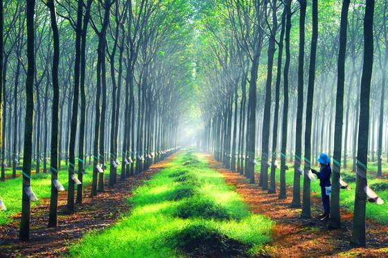 Nâng cao giá trị cây cao su   ảnh 1