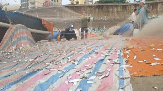 Mùa lưới cá trích ở thành phố biển Vũng Tàu ảnh 3