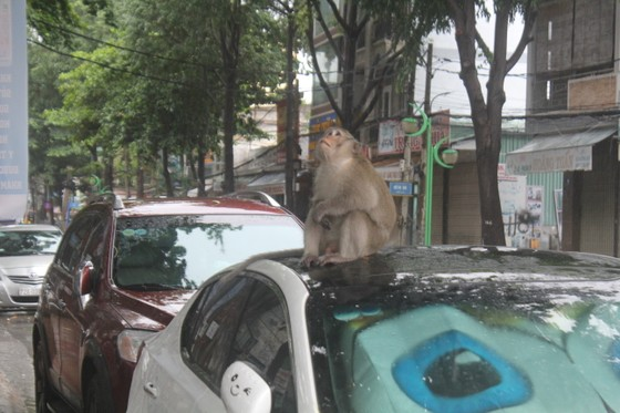 Vũng Tàu: Đàn khỉ dầm mưa xuống phố kiếm thức ăn mùa Covid-19 ảnh 2